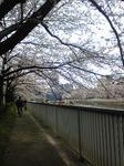 清澄白河桜