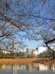 桜上野不忍池