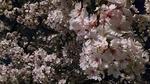大阪城と天満橋の造幣局付近の夜桜