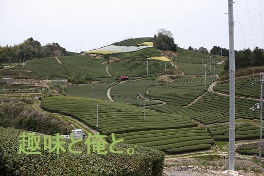 和束町の白栖・石寺の茶畑