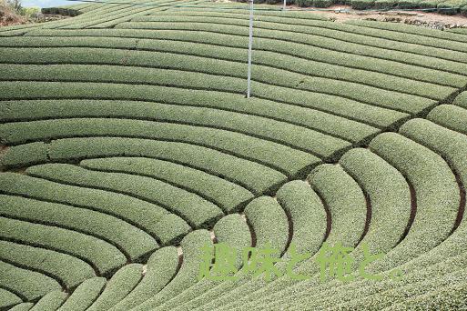 和束町の原山の茶畑
