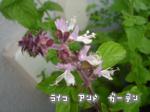 シナモンバジルの花