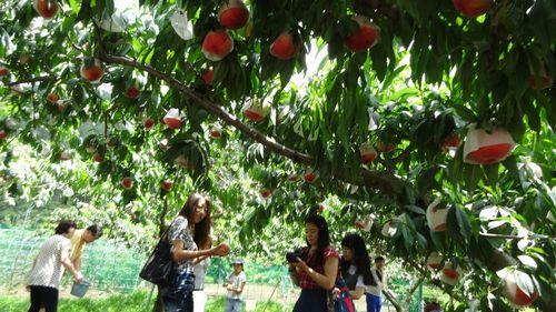 初めて体験する桃狩り食べ放題山梨御坂用意する物必要な物持ち物は?