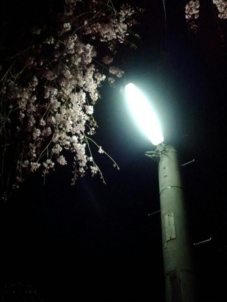 夜桜とライト