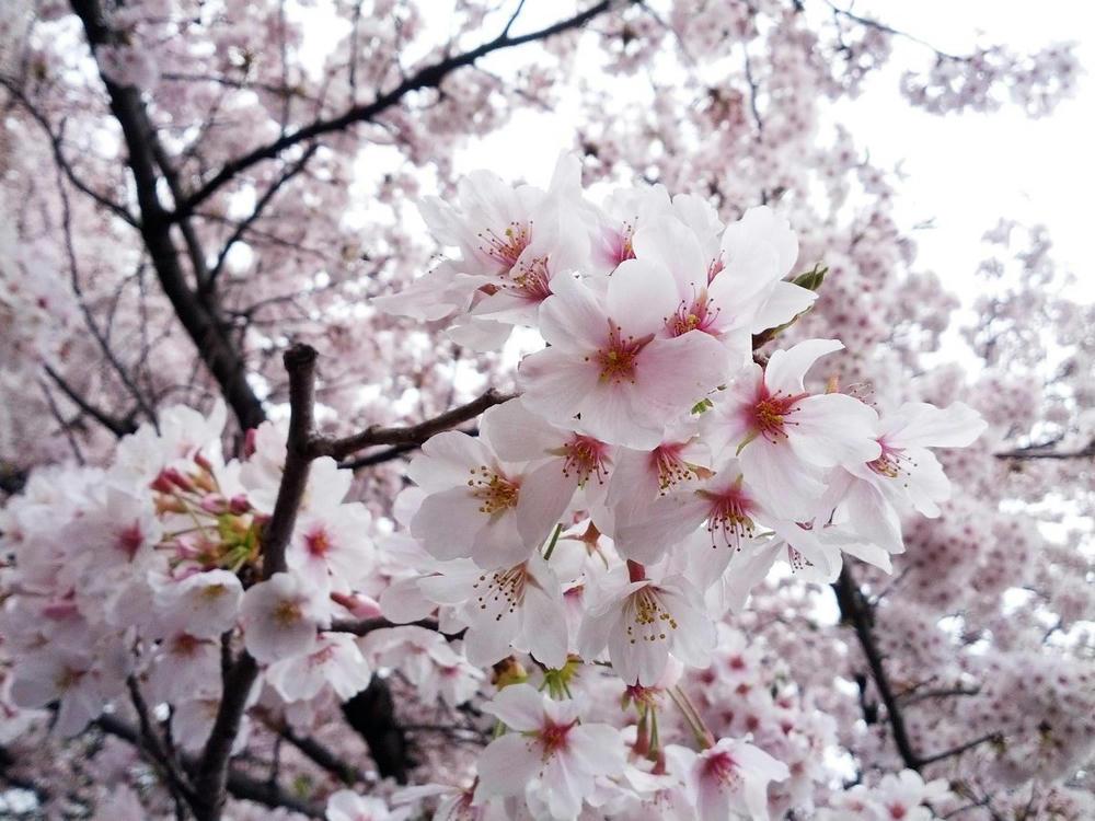 穴場の桜にて