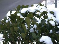 はっぱと雪