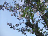 青空に葉桜