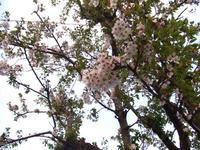 まだある桜