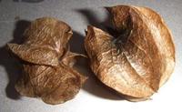 オオセンナリの種
