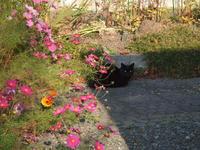 コスモスと黒猫