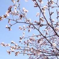 咲きかけサクラ