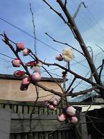 咲きかけ梅
