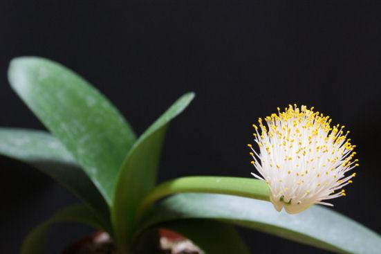 眉刷毛万年青(マユハケオモト) の花