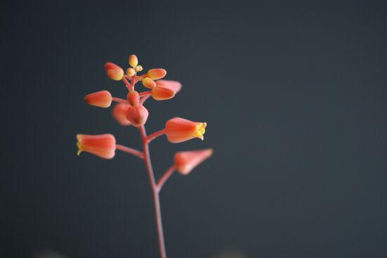 ディスコインシーの花、多肉植物、アロエ科、アロエ属