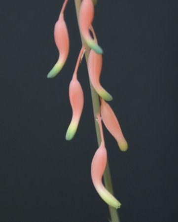 臥牛(ガギュウ) の花