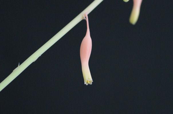 達磨臥牛(ダルマガギュウ) の花