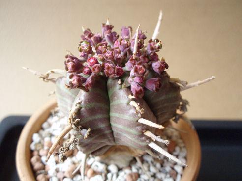 貴青玉(キセイギョク) の花