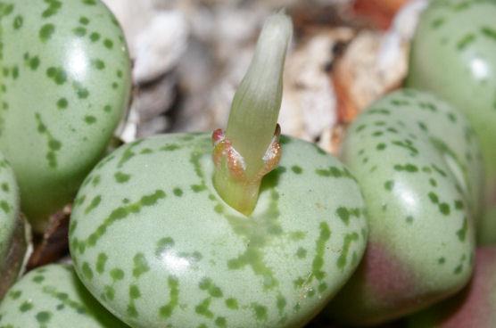 オブコルデルムの花