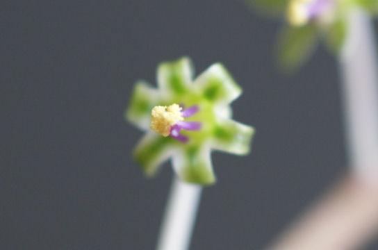 豹紋(ヒョウモン) の花
