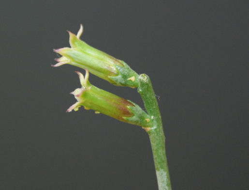 達磨クーペリーの花