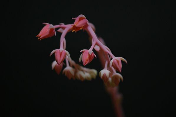 エケべリア(園芸種名不明)の花