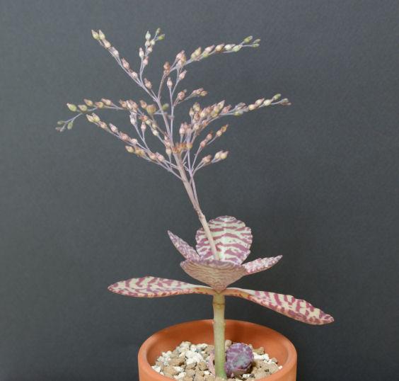 フミリスの花