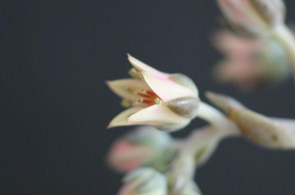 バイネシーの花