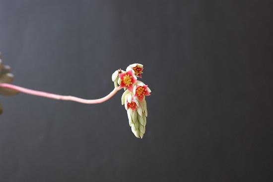 パキフィツム・月美人の花