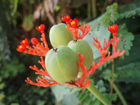 サンゴアブラギリ