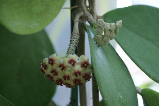 シャムサクラランの花