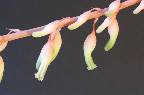 富士子宝の花