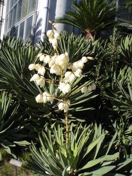キミガヨランの花