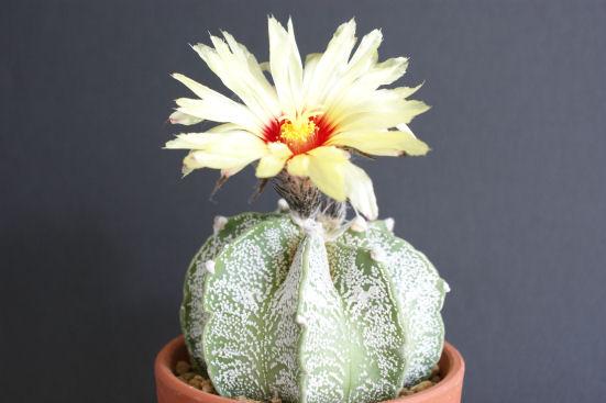 棘なし瑞鳳玉の花