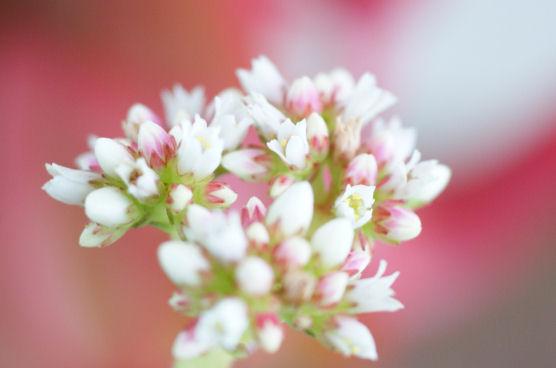 ヒマツリの花
