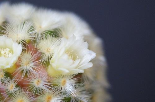サボテン科マミラリア属カルメナエの花