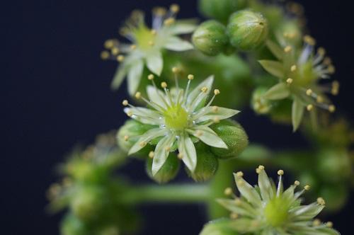 アエオニウム。明鏡の花