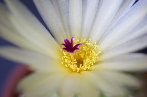 ノトカクタス・金小町の花