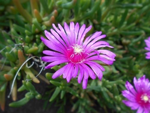 麗晃(レイコウ)の花