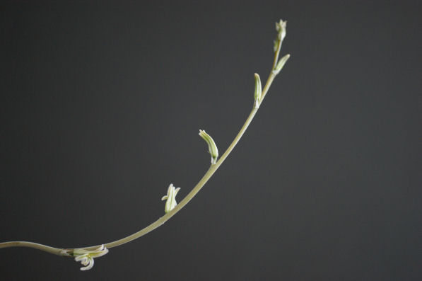 グリーン静鼓の花