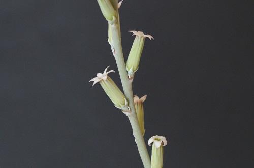 神想曲の花