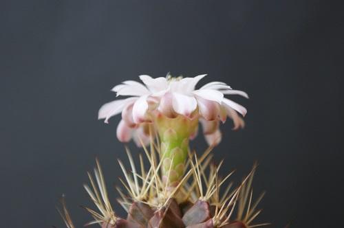 翠晃冠の花
