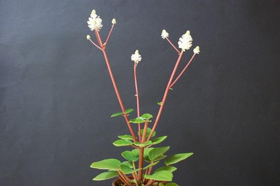 フラセリの花