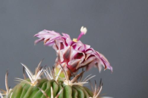 エキノフォスロカクタス・縮玉の花