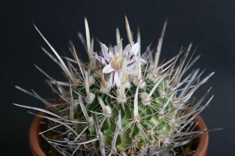 エキノフォスロカクタス属 振武玉(シンブギョク)の花