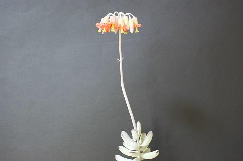 コチレドン・福娘の花