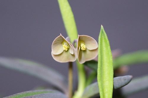 シリンドリフォリアの花