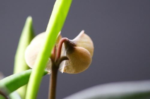 後から見たシリンドリフォリアの花