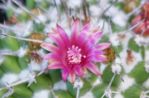 ブカレンシスの花