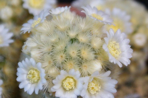 カルメナエの花