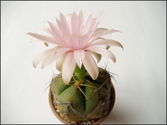 聖王丸の花。ペンタカンサの花